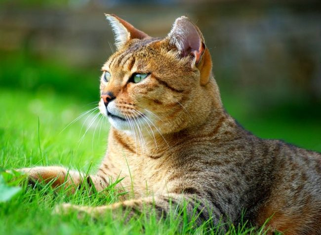 Кошка египетская мау очень преданна своему хозяину. Она обожает проводить время с людьми и совершенно не терпит одиночества