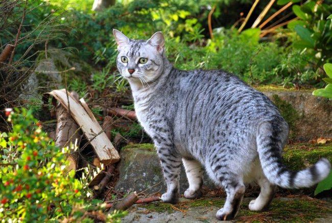 Египетская мау - подвижная и энергичная кошка, проявляющая наклонности к активным играм и охоте. Эта кошка дикого окраса подкупает своей лаской и любовью к хозяину