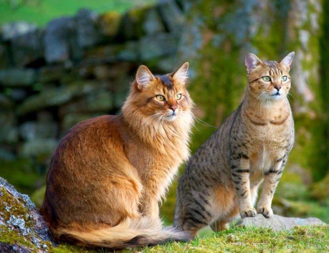 Шикарная парочка: норвежский лесной кот и египетская мау