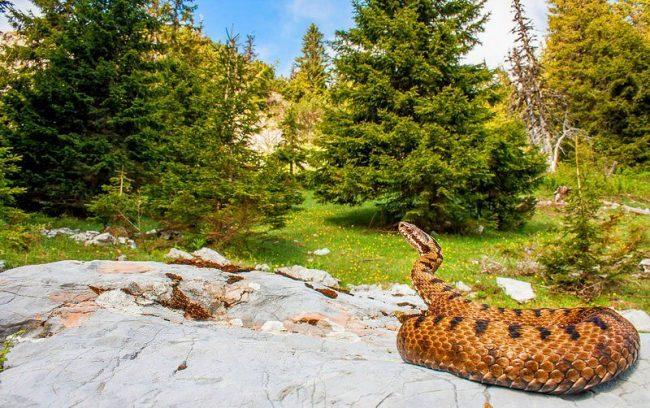 Гадюка обыкновенная представляет собой небольшую, до 60 сантиметров в длину, змею. Самцы имеют более короткое и тонкое тело, но их хвост длиннее. Самки встречаются даже до 90 сантиметров в длину