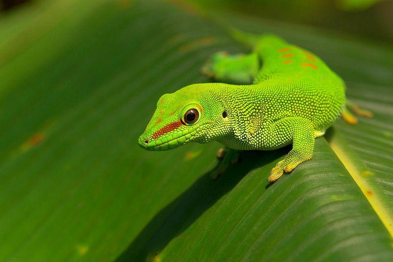 Цепкохвостый геккон - это... Что такое Цепкохвостый геккон?