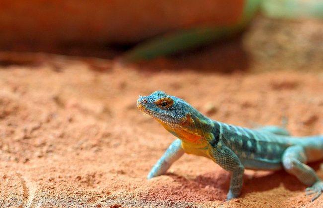 Гекконы – хладнокровные животные, для них важно выдерживать подходящий температурный режим. Температура должна находится в пределах 30 – 35 °C в теплых местах, и 20 – 25 °C – в холодных. Для лесных видов нужно высадить живые растения: геккон любит пить воду с листьев