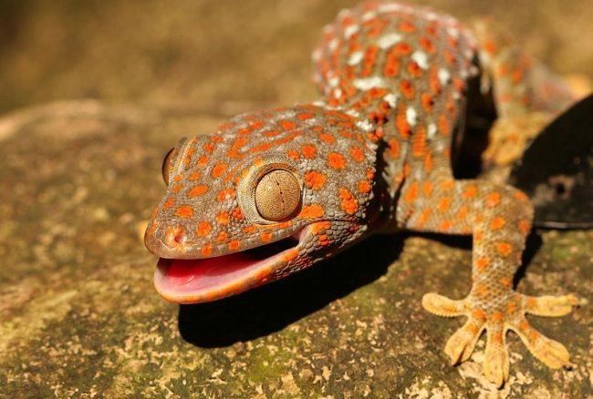 Геккон – многоликая ящерица, которая иногда может менять свой окрас. Она может быть малюсенькой и средних размеров. Самый большой геккон – южноазиатский токи, он вырастает до 350 – 360 мм
