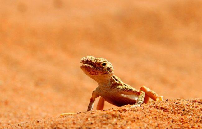 Геккон. Над раскраской гекконов поработал хороший дизайнер. Цвет кожи может быть очень необычным. Есть гекконы, тела которых, имитируют кору деревьев, мох, листья или песок