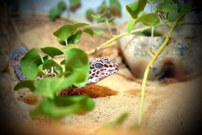 Большинство гекконов не могут моргать, так как их веки срослись (исключение – леопардовый геккон). Такая особенность строения есть ещё у змей