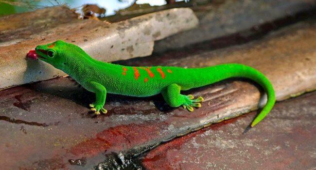 Геккон. Вы когда-нибудь наблюдали, как ящерица бегает по абсолютно гладким стенам и спокойно висит на одной лапке, упершись в потолок? Такое поведение для гекконов норма
