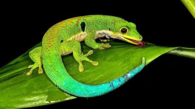 Геккон. Хвост у гекконов любит отваливаться в случае опасности. Взамен поношенного хвоста вырастает новый, но краше старого он не станет, а даже наоборот. Нужно обращаться с геккончиками бережно