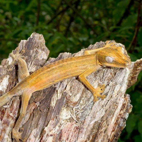 Геккон. Гекконовые, или цепкопалые, насчитывают 905 видов, объединённых 52 родами. У этих неординарных ящериц существует географическая изменчивость: виды, живущие в пустыне, отличаются от соплеменников, обитающих в лесах