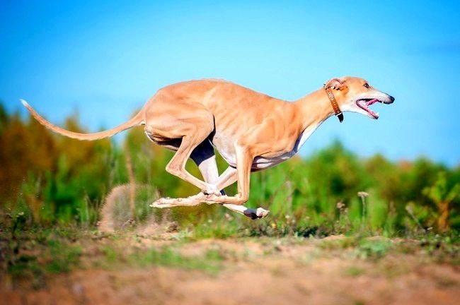 Во время бега грейхаунд становится похожим на кенгуру