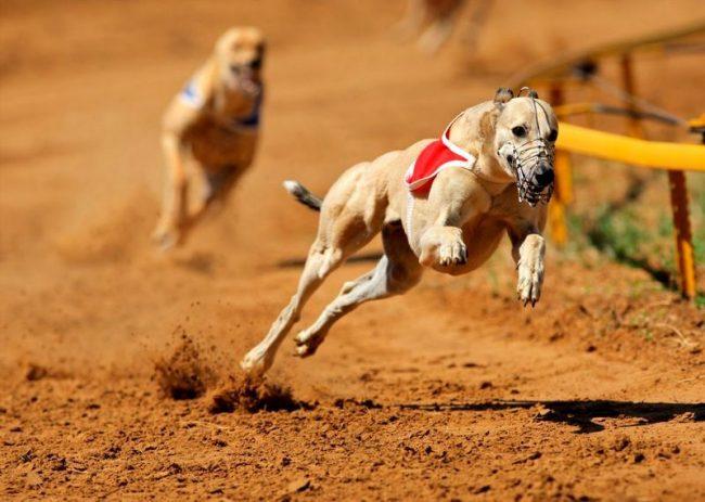 Грейхаунды - прирожденные бегуны. Они часто участвуют в собачьих бегах, развивая скорость до 67 км/ч