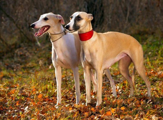 Есть породы собак, на которых нельзя кричать, к ним относится и грейхаунд. Купить такого песика – дорогое удовольствие. Однако здесь надо быть готовым не только материально, но и морально