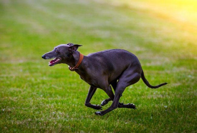 Не стоит путать эту собаку с левреткой, которую еще называют итальянский грейхаунд. Линии развития этих пород очень разные. Объединяет их одна из теорий о происхождении, утверждающая, что предки левреток тоже жили в Древнем Египте, а также явное внешнее сходство. Но это разные породы