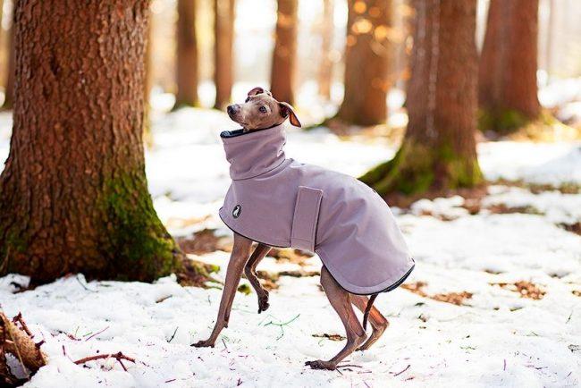Во время зимних прогулок позаботьтесь о теплой накидке для своего грейхаунда