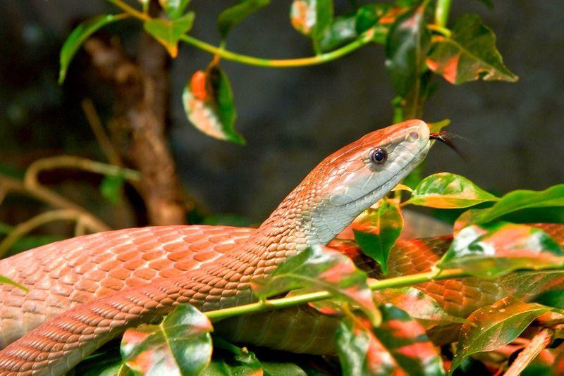Черная мамба (фото): самая страшная и ядовитая змея