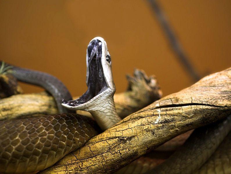 Мамба змея все о ней