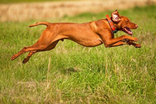 Хорошая охотничья собака должна быть резвой, проворной и активной. На улице выжла ни минуты не сидит без дела, все свободное время она старается посвятить физическим упражнениям