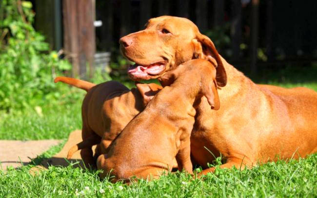 Активная и веселая – такая венгерская выжла, щенки ее тоже должны быть подвижными, здоровыми, полненькими и чистыми. Рекомендуют выбирать щенка среднего размера. Проверьте малыша на отсутствие видимых дефектов глаз, челюсти, ушей и лап
