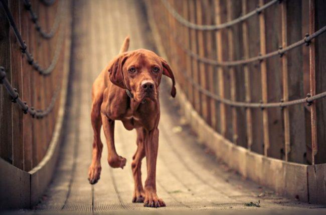 В отличие от улицы, в доме собака ведет себя тихо и незаметно. Венгерская выжла подкупает своим спокойным и покладистым характером