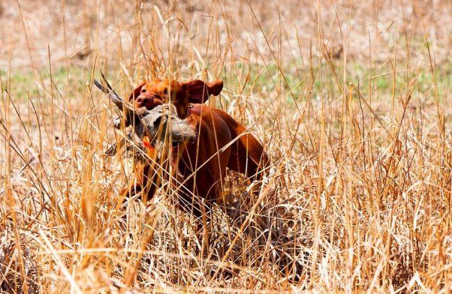 Выжла - профессиональный охотник