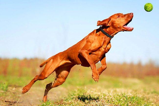 Собака просто обожает активный досуг: совместные пробежки, спортивные игры и упражнения для нее будут лучше любых лакомств. Пес будет рад длительным прогулкам по лесу, купанию в водоеме
