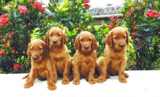Выбирая малыша, обратите внимание на его поведение: пассивный, пухленький и неповоротливый малыш не вырастет в здоровую красивую собаку