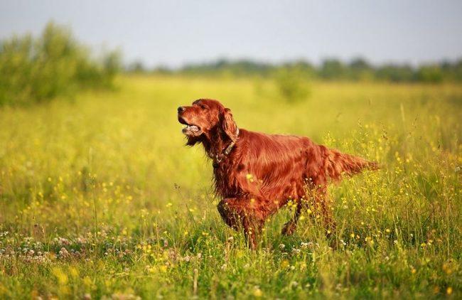 Ирландский красный сеттер – живой сгусток энергии. Породу часто называют самой красивой собакой. Всё благодаря её элегантной стойке и изумительному темно-красному цвету переливающейся на солнце шерсти