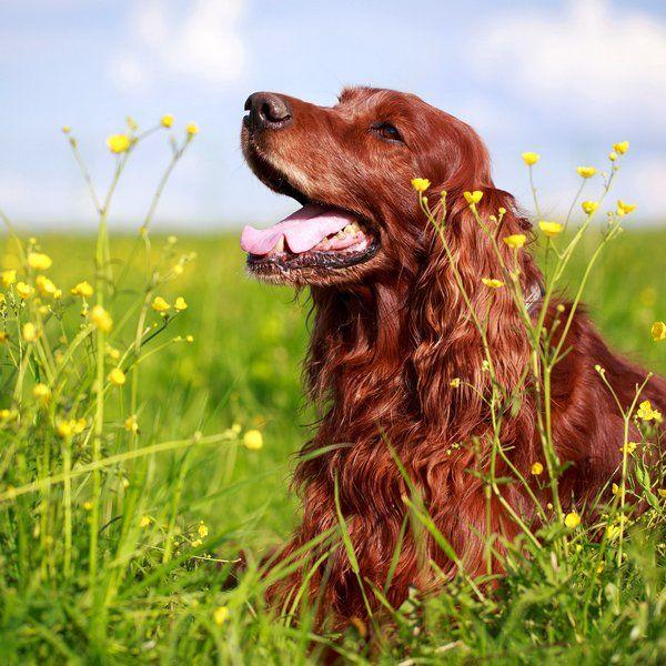 Ирландский сеттер - собака дружелюбная, игривая, веселая. Этот пес любит всех окружающих