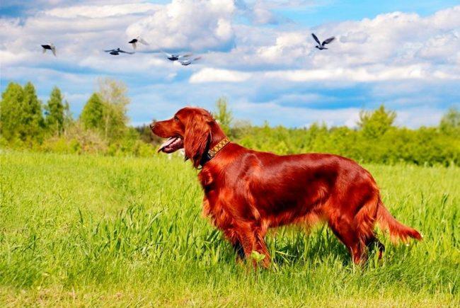 Ирландский сеттер – легавая собака для летней и осенней охоты. Её отличает фирменная высокая стойка без припадания к земле. В поле он энергичный охотник, дома – отличный компаньон