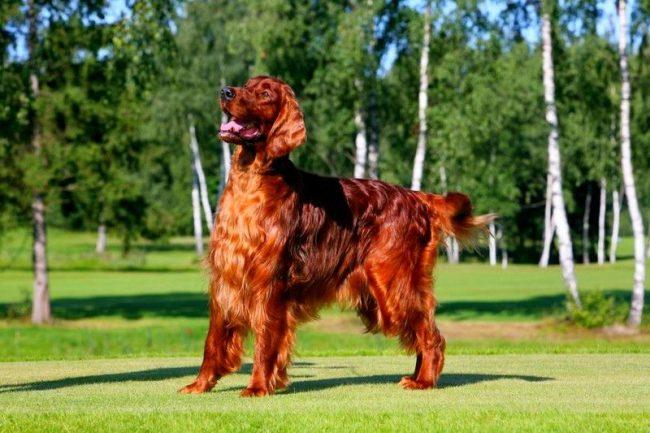 Жизнерадостная собака ирландский сеттер хорошо подходит активным людям. Для любителей тишины и спокойствия она не годится. Выносливый, энергичный и очень ласковый сеттер станет настоящим другом, если вы будете о нем заботиться