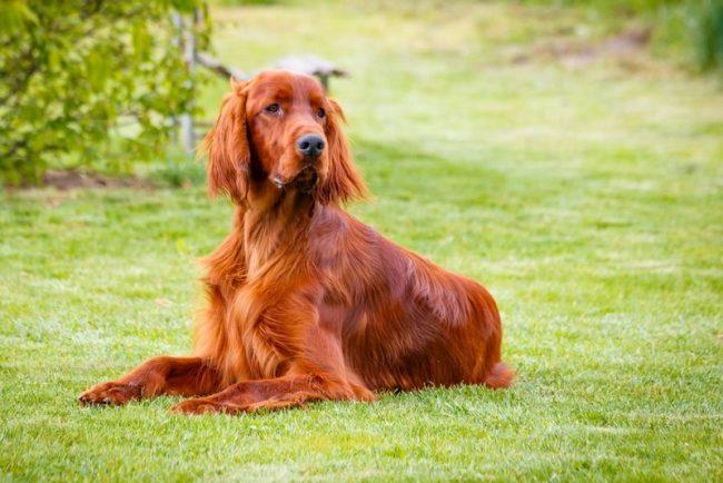 Помимо охоты, ирландский сеттер проявляет себя как победитель на различных собачьих выставках. Благодаря шикарной шерсти и статной фактуре ирландца, конкуренты остаются далеко позади