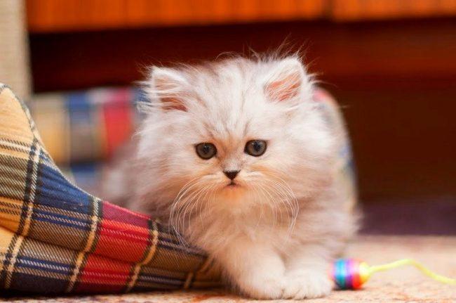 У серой кошки все признаки близкого нападения со стороны ваших врагов. Ждите подвоха от конкурентов или коллег по работе. Помните про серого кардинала, который действует из-под тешка, но метко