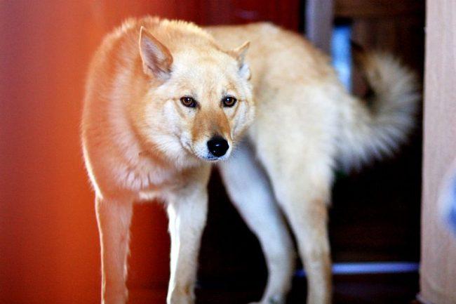 Карело-финская лайка – собака жизнерадостная, игривая, с весёлым нравом