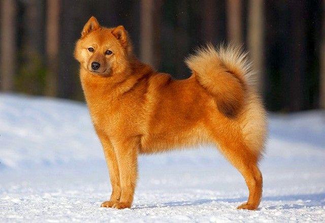 Карело-финская лайка – собака охотничья, поэтому ей необходимы активные прогулки не менее получаса и тренировки на собачьих площадках