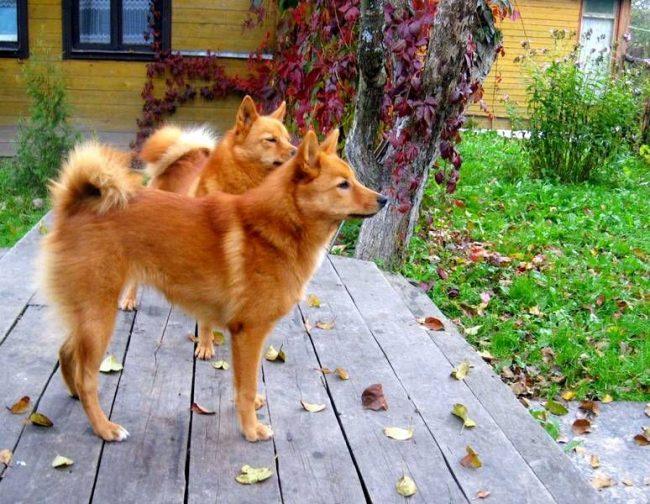 Карельские лайки - прекрасные охотники и преданные компаньоны