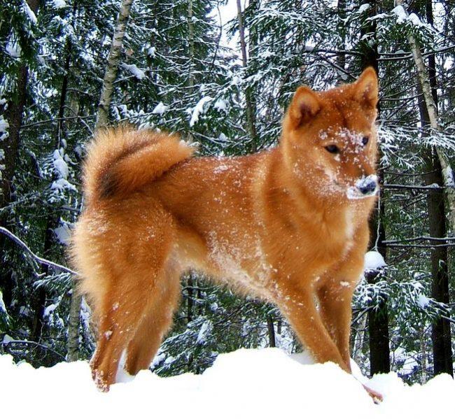"""Карело-финская лайка - внимательное, чуткое и смышлёное существо с задатками лидера. Хозяину нужно показать, что он - """"вожак"""", и тогда собака безраздельно будет его слушаться и почитать"""