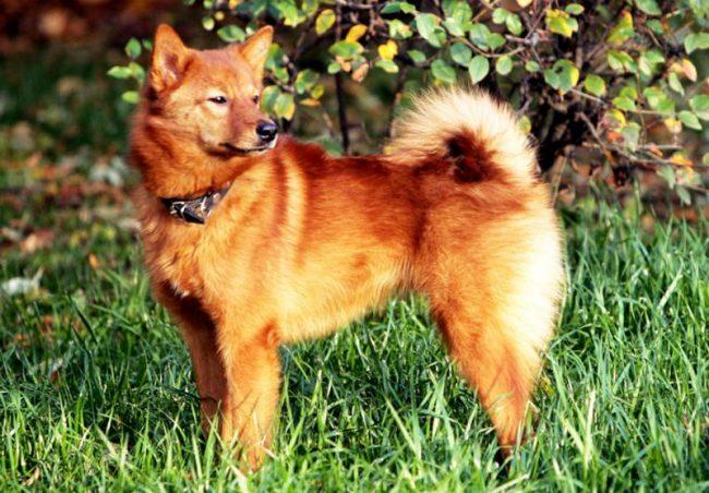 Карело-финская лайка - это грациозная, сообразительная, игривая собака с отличными охотничьими качествами и чувством собственного достоинства. Она считается одной из самых прекрасных и эффектных разновидностей лаек