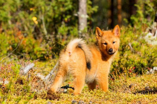 Хвост лайки – барометр её настроения. У бодрой, весёлой, довольной жизнью собаки он загибается в кольцо, но если она обижена какой-то несправедливостью хозяина или жестоким наказанием, он распрямляется, и собака ходит угрюмой, недовольной. Обиду может запомнить на всю жизнь