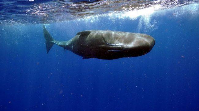 Кашалот - крупнейший из зубатых китов и может расти до тех пор, пока не достигнет 20 метров в длину. А масса его мозга в 5 раз больше, чем масса мозга человека