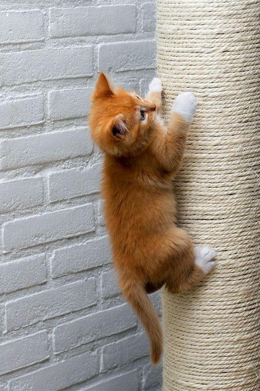 Когтеточки для кошек. Когтеточка обязана выдержать вес животного и не упасть под нажимом его мощных лап, она должна быть устойчивой