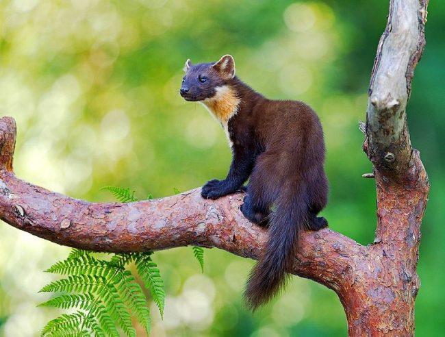 Куница. Житель лесных массивов, куница предпочитает верхний ярус вековых елей и сосен. Шустрая и необычайно ловкая, она стремительно лазает по деревьям, совершает головокружительные прыжки и схватывает добычу на лету