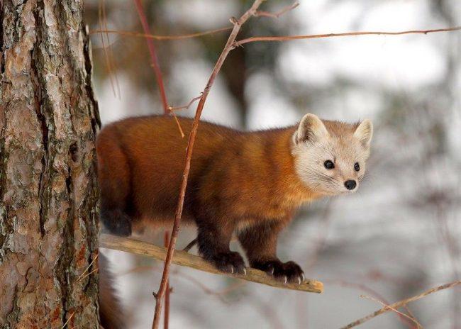 Куница. Мех зверька меняет свой окрас в зависимости от сезона: зимой он темно-бурый, с желтоватыми оттенками, летом тускнеет и значительно сокращается в длине