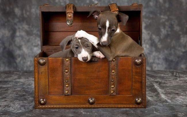 Левреток часто заводят парами - такие они милые, игривые и любвеобильные
