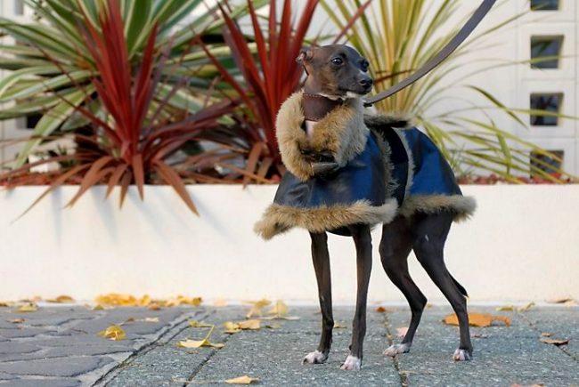 Левретки чувствительно относятся к холоду. Для зимних прогулок собаки лучше приобрести теплую одежду