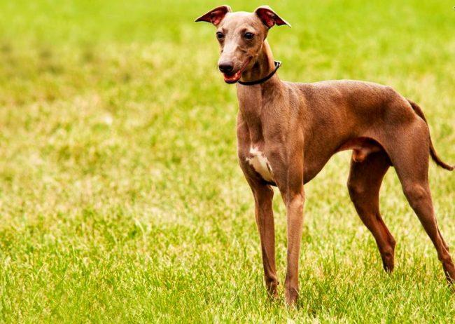 Левретка – ласковая и любвеобильная собака, требующая к себе все внимание хозяина. Это декоративный пес, который сможет легко подстроиться под ваш образ жизни, каким бы он ни был