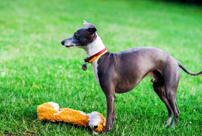 Левретка – собака игривая. Если в доме есть ребенок, лучших друзей сложно найти. Им вместе будет интересно копошиться в ворохе с игрушками, и разбирать их на части