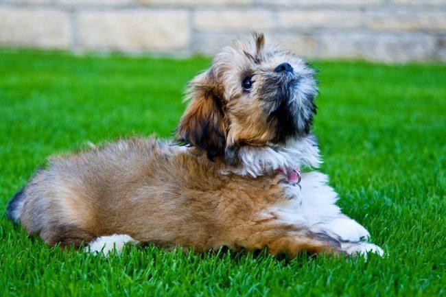 Благодаря бдительности и осторожности лхасские апсо до сих пор используются в Тибете как сторожевые собаки