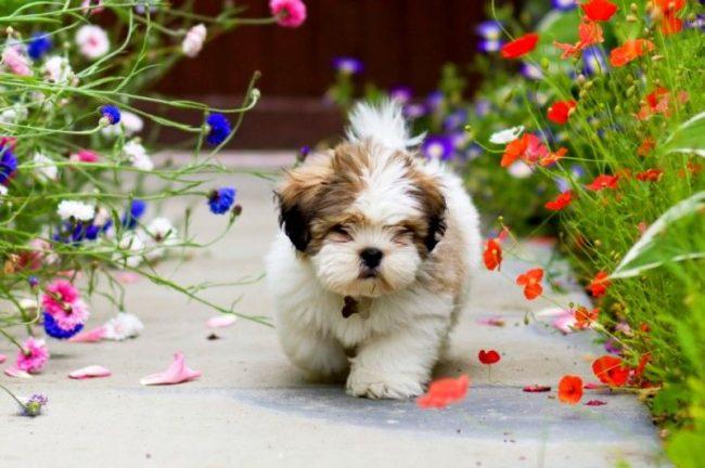 Лхаса апсо - собака неприхотливая. Ей не нужен специальный температурный режим или особо мягкая постелька. Она будет комфортно чувствовать себя у ваших ног на коврике