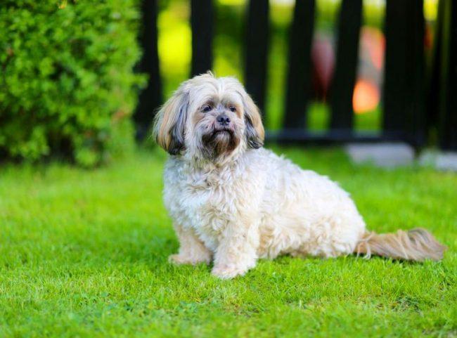 Собака интуитивно чувствует настроение и хорошо улавливает состояние своего хозяина. По этой причине лхаса апсо купить можно не только в качестве живой игрушечки, но и воспитать как поводыря для слепого человека