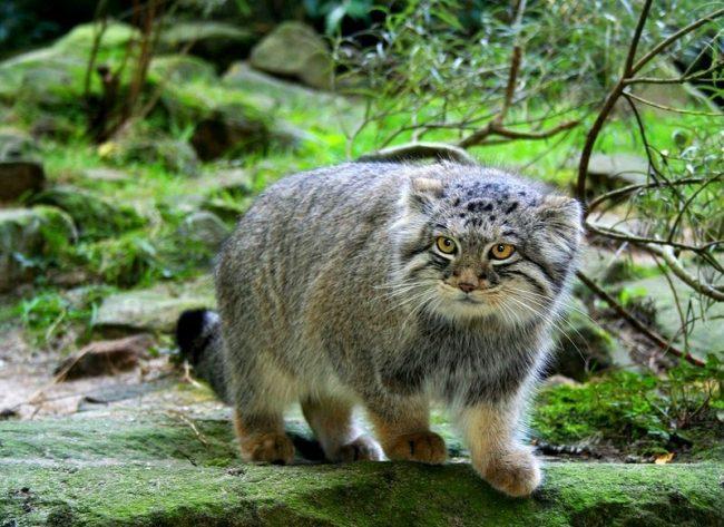 Милый, немного устрашающего вида манул, – кот, да не совсем тот, к которому мы привыкли. Это свободный отшельник, и с домашними кошечками у него мало общего