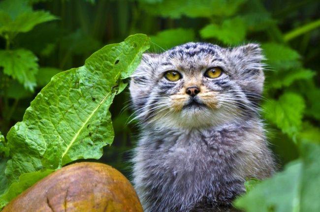 Манул – дикое животное, для него родной дом – бескрайние просторы степей. Его практически невозможно приручить